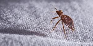 Bedbugs Control